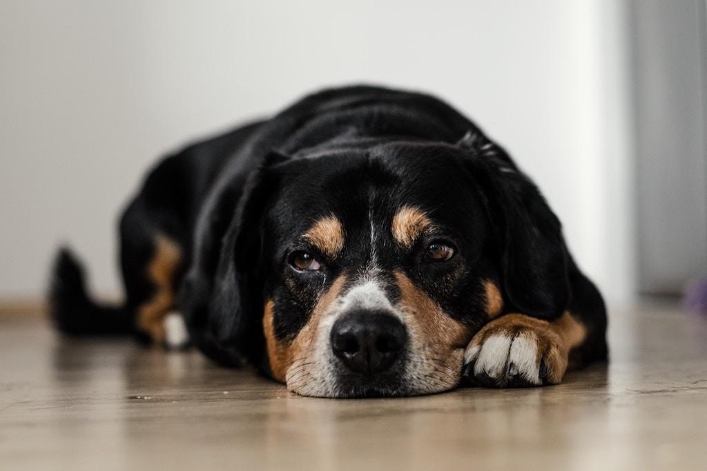 perro tumbado en el suelo triste