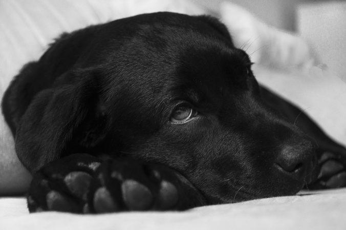 perro negro tumbado