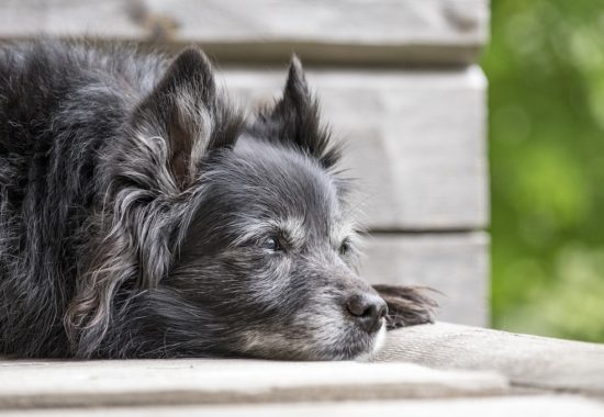 perro adulto de color negro tumbado