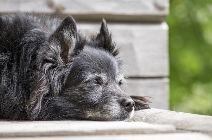 gos adult de color negre estirat