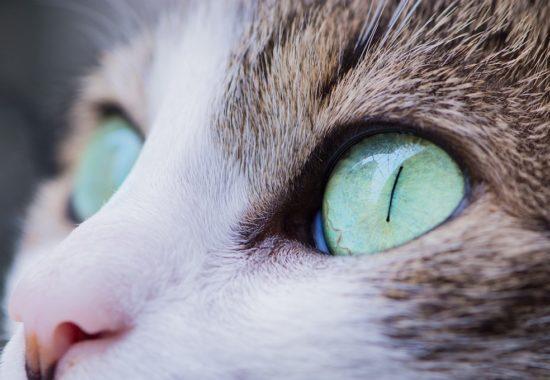 ojos de un gato en primer plano