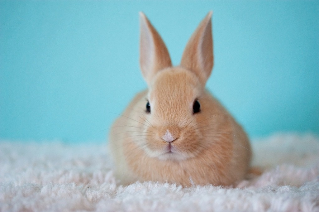 conill marrò a sobre d'una catifa blanca
