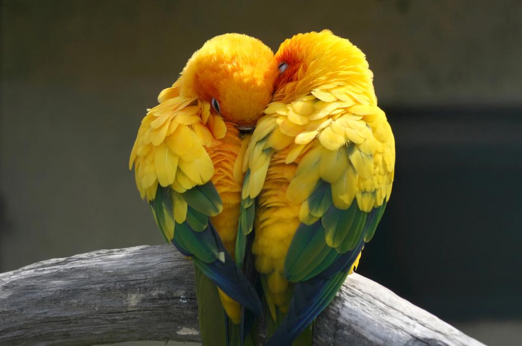 pareja de agapornis amarillos