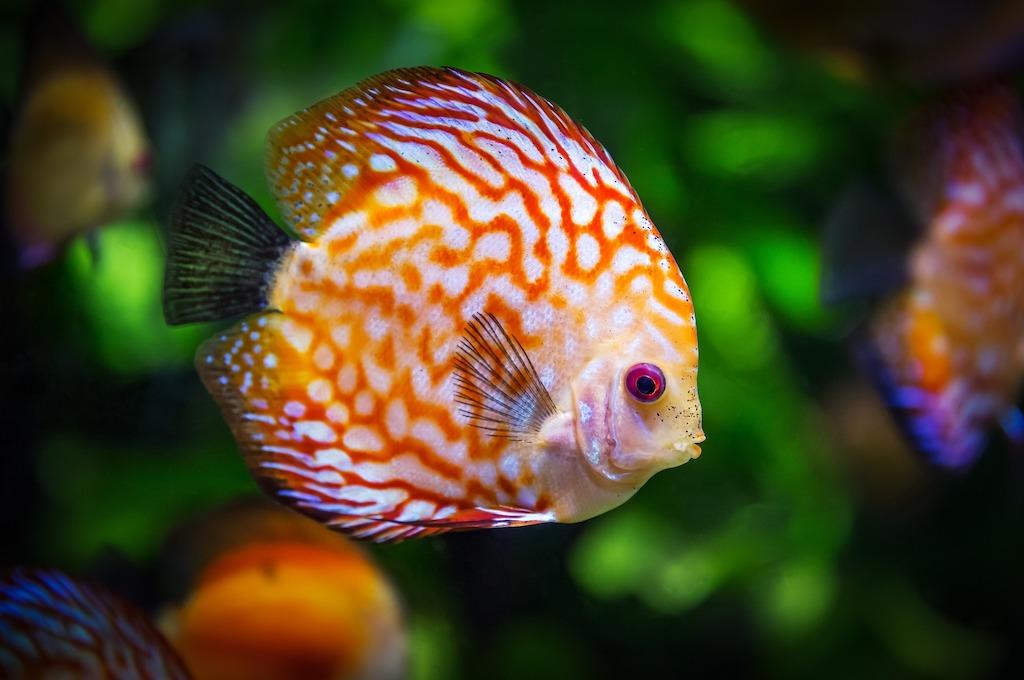 Pez de color naranja y blanco dentro de un acuario