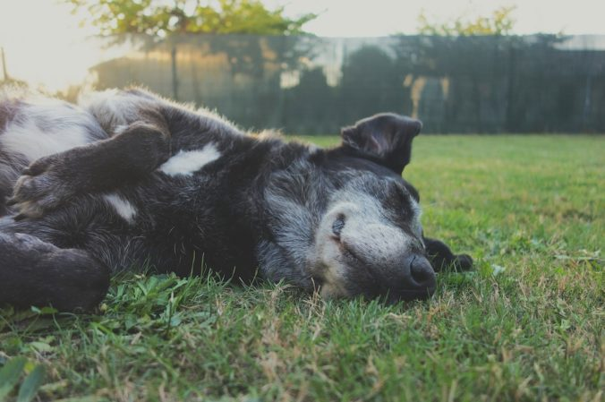 black dog lying on the grass
