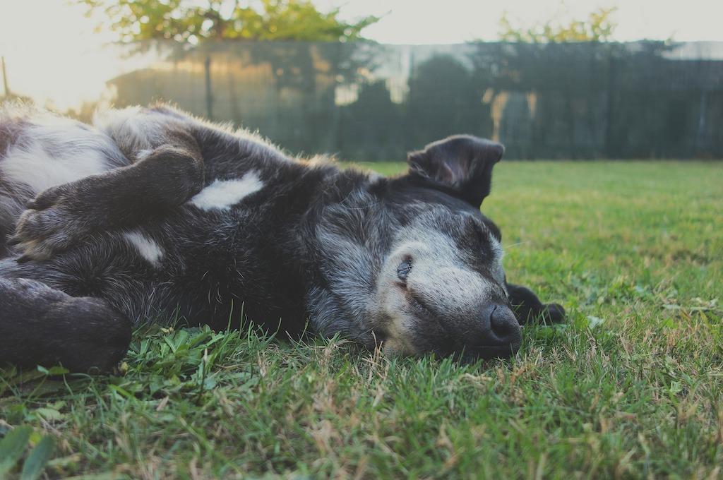 black dog lying on the grass