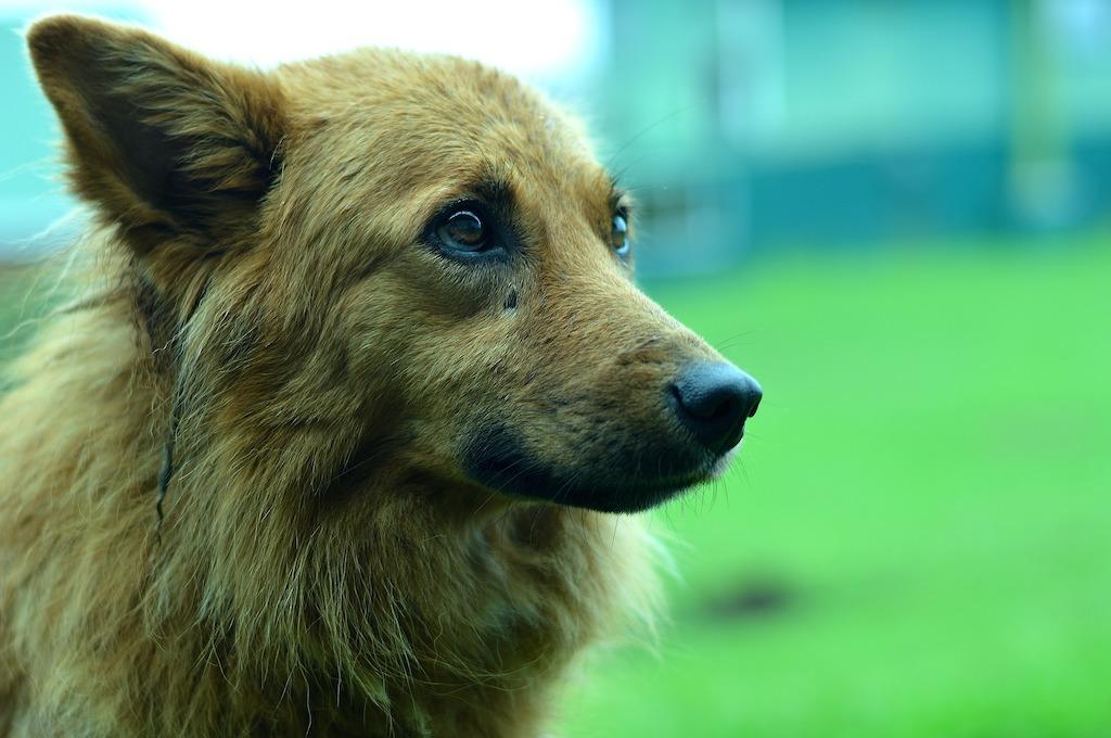 photo of a german shepherd dog
