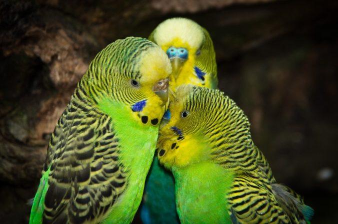 tres periquitos australians verds i grocs