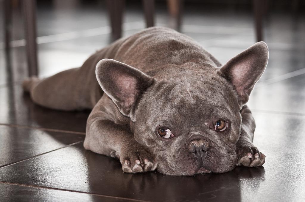 french bulldog lying