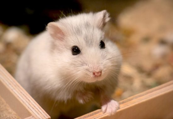 Hamster blanco en una caja de madera