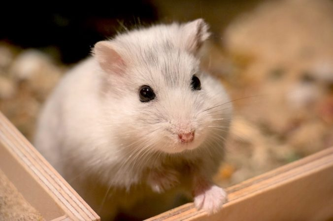 White hamster in a wooden box