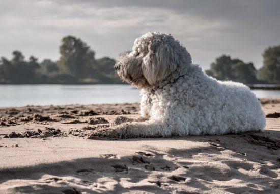 perro goldendoodle disfrutando del sol en la playa