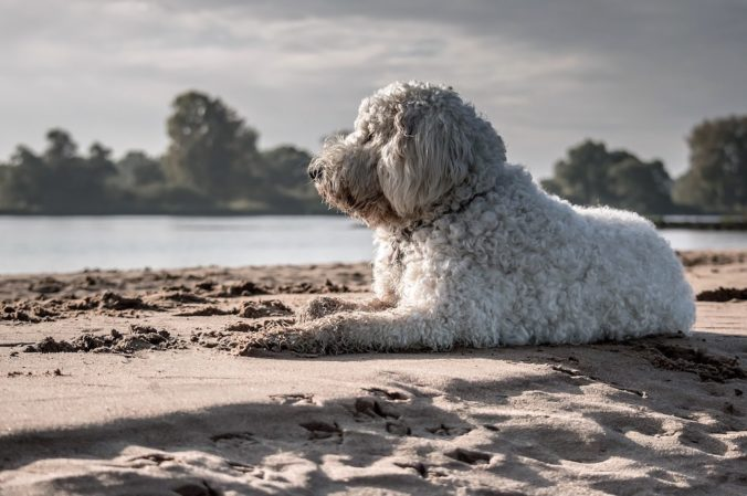 goldendoodle dog enjoying the sun on the beach