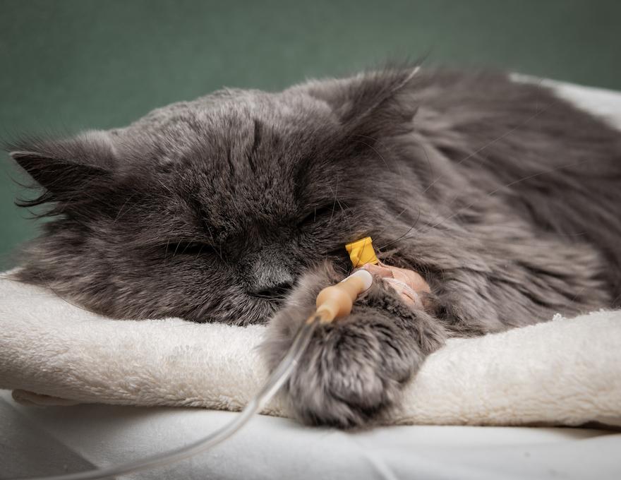 gato tumbado con una via intravenosa