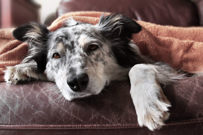 sick border collie on the couch