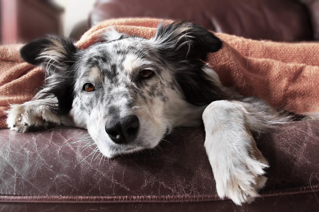 border collie enfermo en el sofá