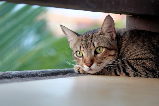 Gato gris con ojos verdes mirando por una ventana
