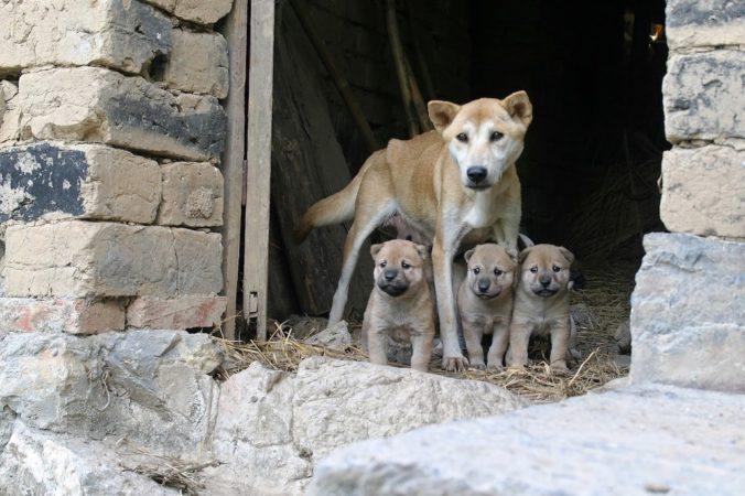 ventrada de gossos salvatges