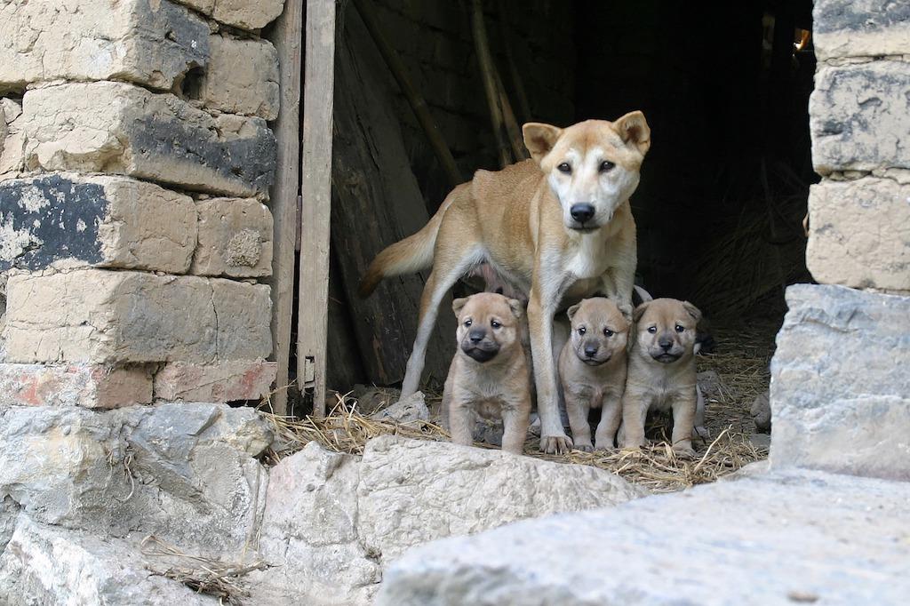 litter of wild dogs