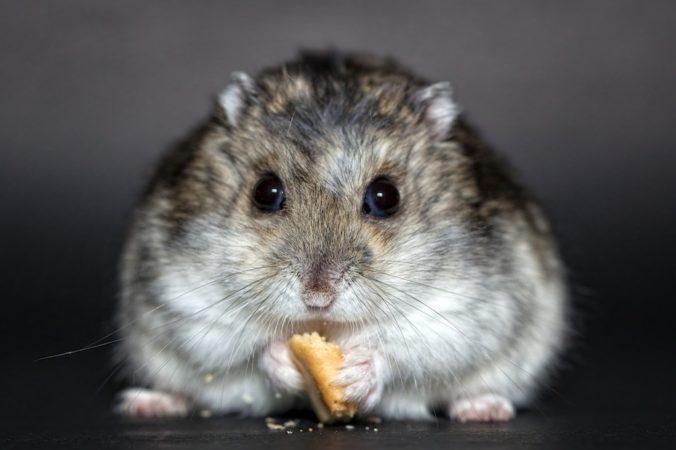 Hamster gris comiendo