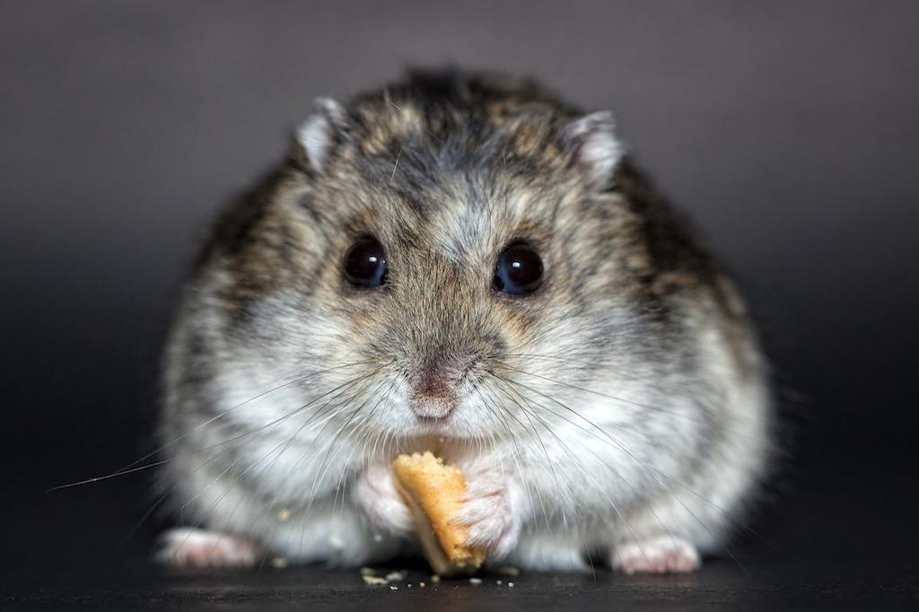 Hamster gris menjant