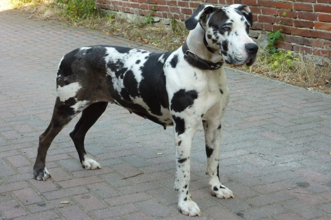 Great Dane dog on the street