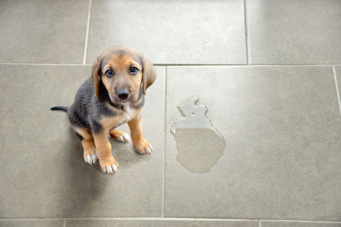 dog puppy that has peed