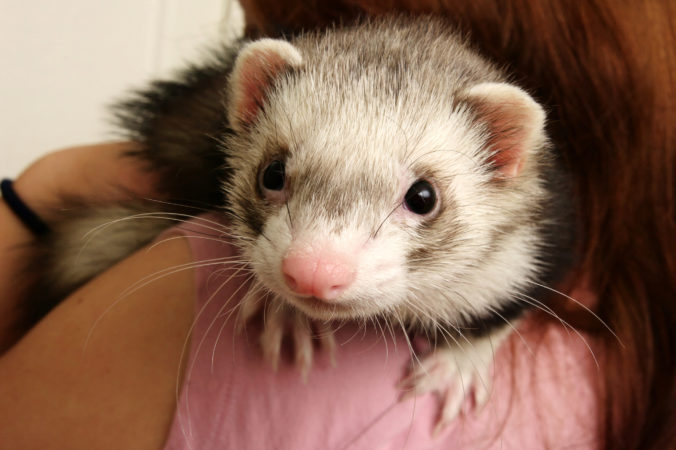 photo of a ferret on the shoulder of its owner