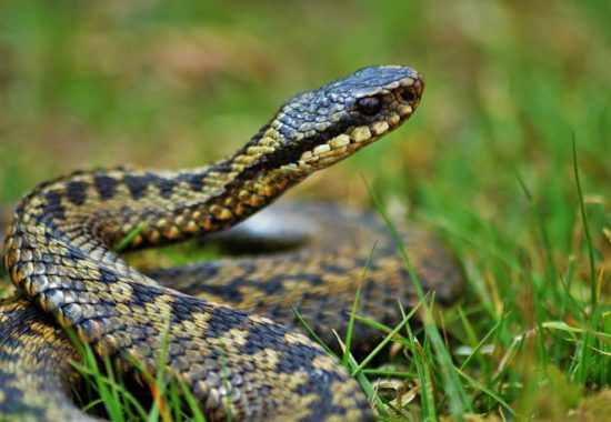 In the image we can see a snake on a meadow of grass