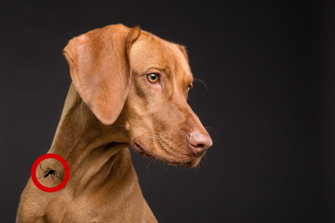 Photograph of a brown dog and in a red circle on the neck a mosquito appears