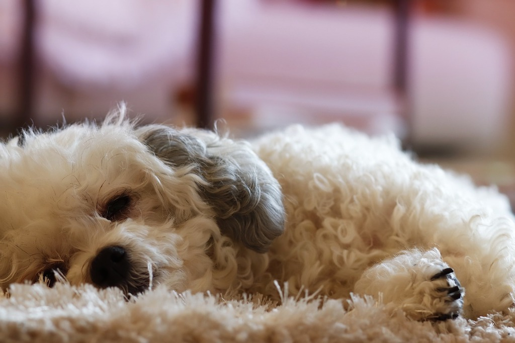 The image shows a white dog lying down with sad face