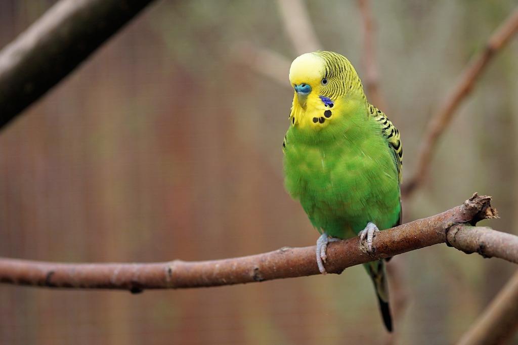 En la fotografía aparece un periquito verde y amarillo posado en una rama