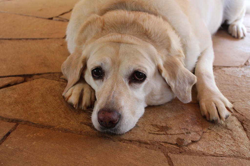 Image showing a cinnamon-colored labrador older dog lying on the ground