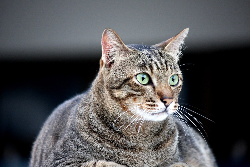 image of an obese cat referring to diabetes