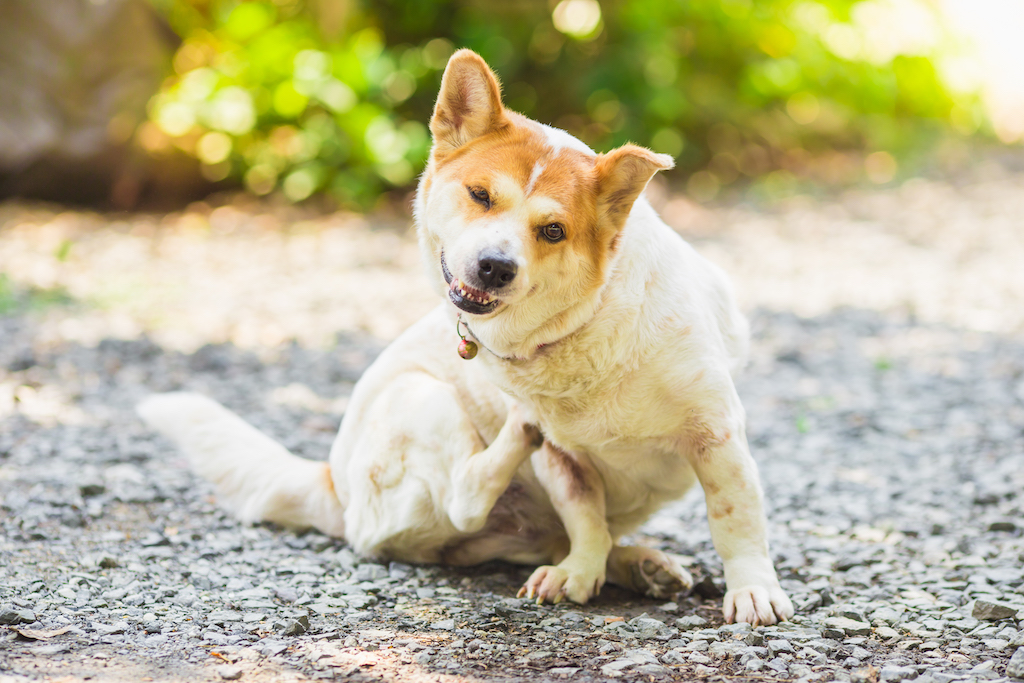 white dog scratching because of the canine atopy