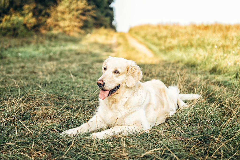white dog lying in the meadow
