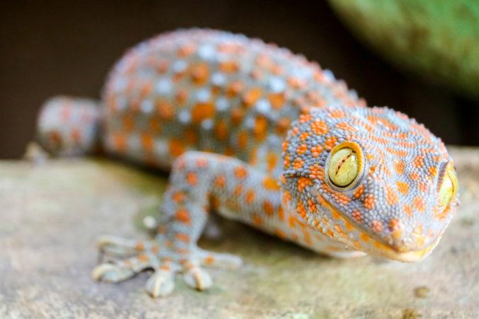 foto de un gecko como mascota