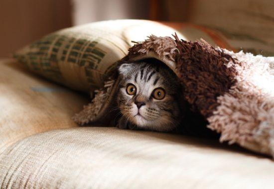 gat amagat sota una manta