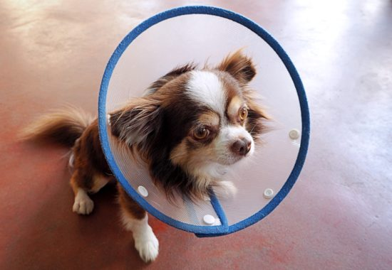 perro chihuahua con un collarin de plástico para evitar que se rasque