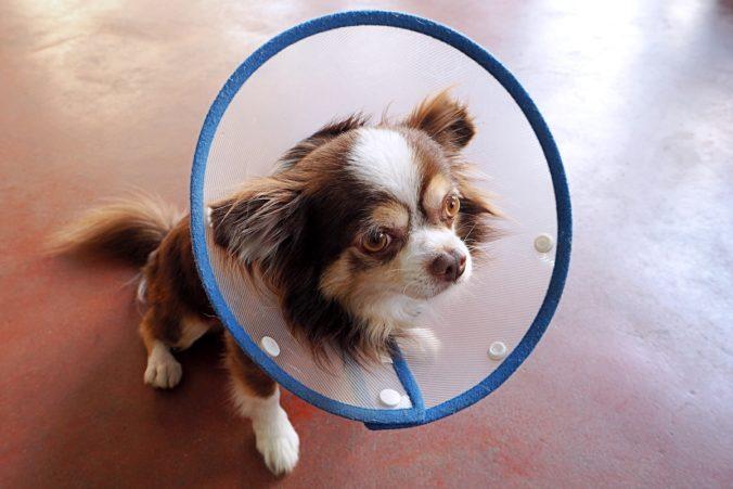 gos chihuahua amb un collarí de plàstic per evitar que es rasqui