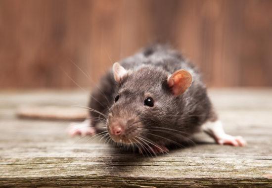 rata de color gris sobre una madera