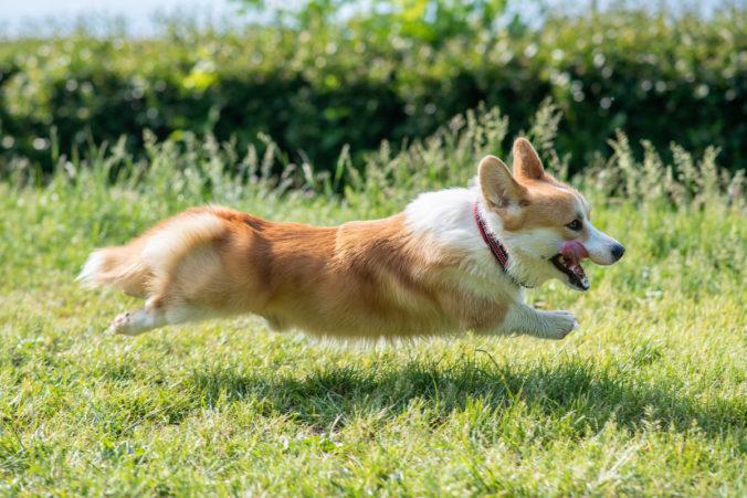 perro marrón y blanco corriendo sobre el césped