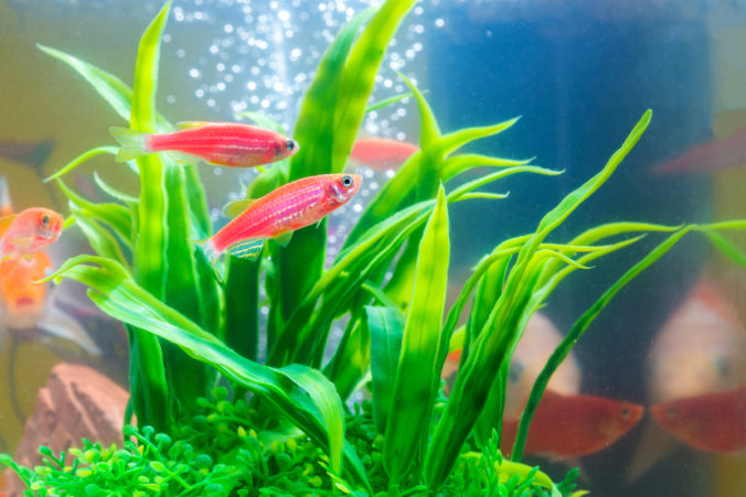 aquarium with small red fish