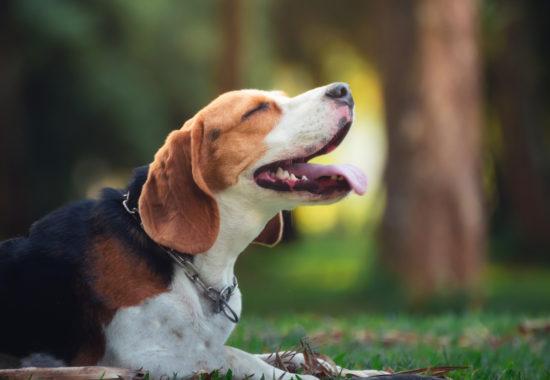 portrait of cute puppy beagle in the garden
