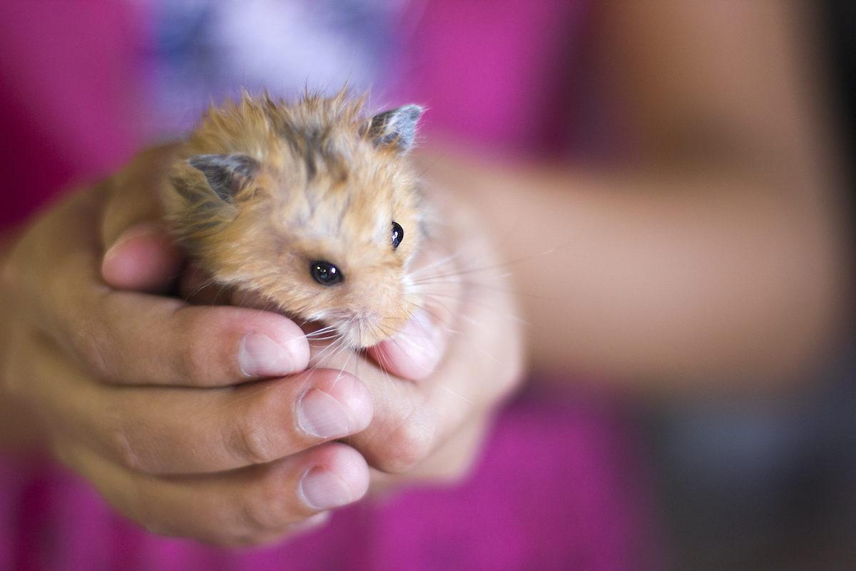pequeño hamster marrón cogido en las manos