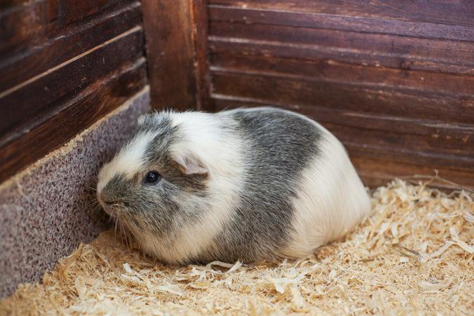 hamster blanco y gris en su jaula