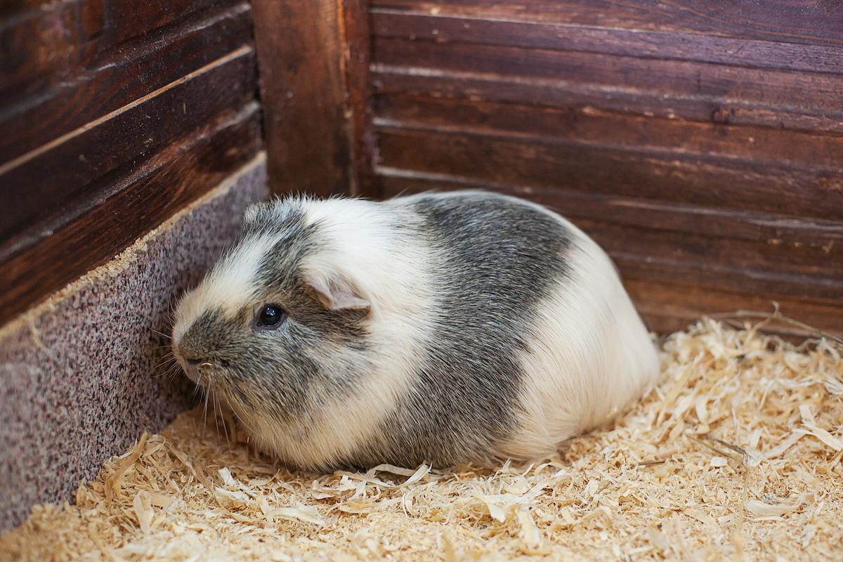 hamster blanc i gris a la seva gàbia