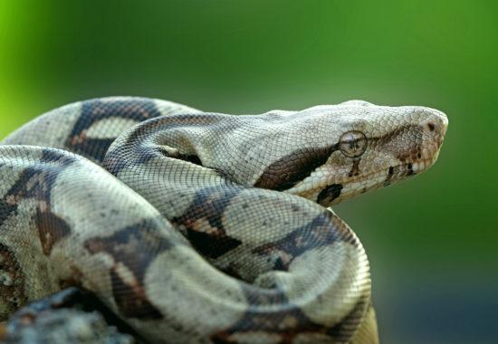 foto de una boa constrictor en posición de caza