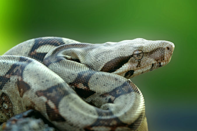 photo of a boa constrictor in hunting position