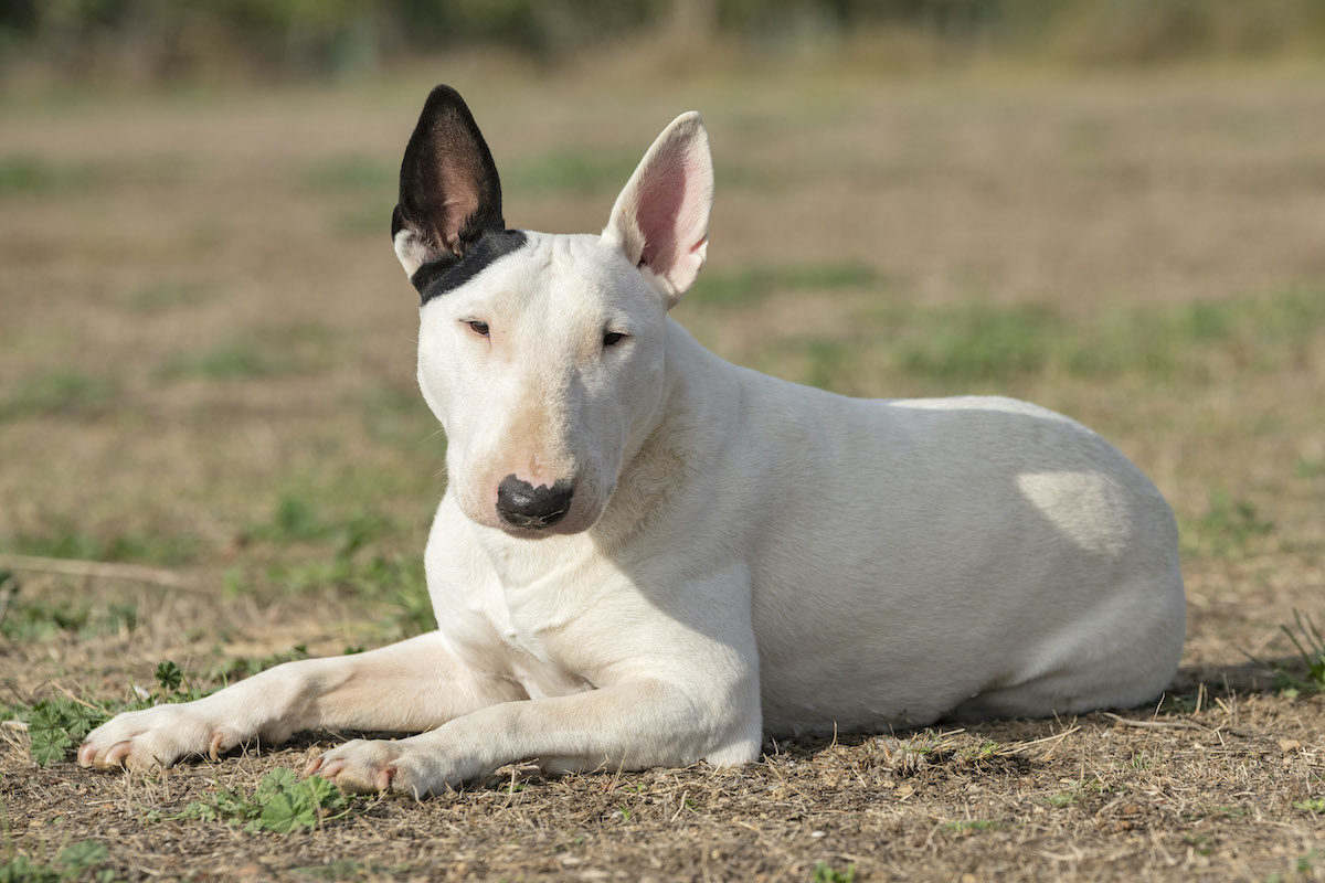 bull terrier lying on the grass